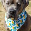 American Pit Bull Terrier wearing a mod print bandana.