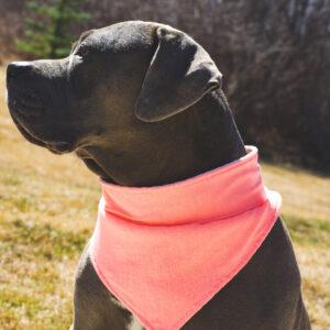 Pit bull wearing a pink dog bandana.